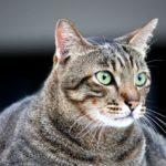 Obez Hayvanlardaki Artış Veterinerleri Zorluyor