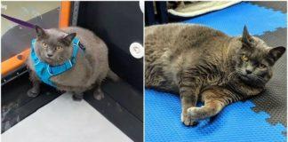 Obez Olduğu İçin Spor Yapmak Zorunda Kalan Kedinin Hüzünlü Halleri