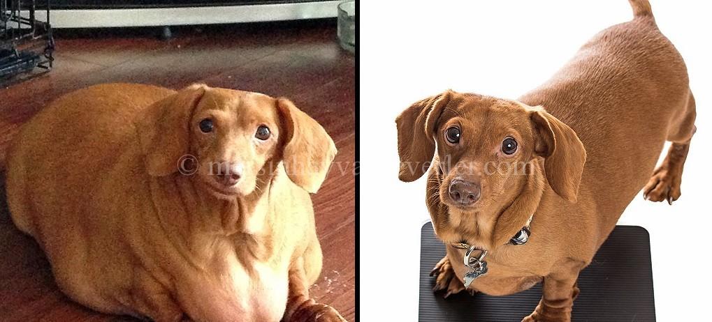 ABD'nin Ohio eyaletinde dakhund cinsi köpeği eski sahibi yalnızca abur cubur ile besleyerek aşırı kilo almasına neden olmuştu