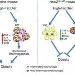 Gen Mutasyonu İle Farelerde Obezite Gelişimi Önlendi